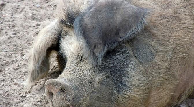Gros porc de référenceur en bois vautré qui fait un véritable travail de goret.